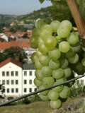 A Riesling Grape