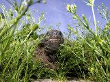 Mary  a 375 Pound Aldabra Tortoise  Peeks Through the Greenery