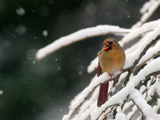 A Cardinal Waits its Turn at a Birdfeeder on a Snow-Covered Tree