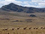 Protected Vicunas  Run on an Andean Plain Near Ayacucho