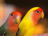 Love Birds  Yuen Po Street Bird Market  Hong Kong  China