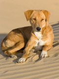 Dog Lying in Sand Dunes  Thar Desert  Jaisalmer  Rajasthan  India