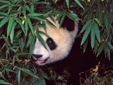 Panda Cub in the Bamboo Bush  Wolong  Sichuan  China