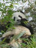 Panda Eating Bamboo on Snow  Wolong  Sichuan  China