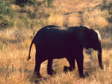 Close-up of Elephant in Kruger National Park  South Africa