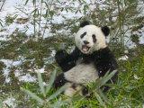 Panda Eating Bamboo on Snow  Wolong  Sichuan  China