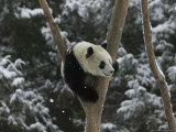 Panda Cub Playing on Tree in Snow  Wolong  Sichuan  China