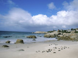 Penguins  The Boulders  Cape Town  South Africa
