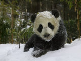 Panda Cub on Tree in Snow  Wolong  Sichuan  China