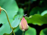 Dragonfly on Lotus  Kyoto  Japan