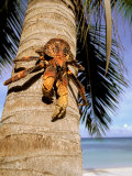 Coconut or Robber Crab  Picard Island  Aldabra Atoll  Seychelles  Africa
