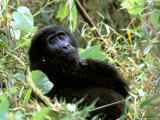 Mountain Gorilla  Bwindi Impenetrable Forest National Park  Uganda