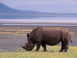 White Rhinoceros  Lake Nakuru National Park  Kenya