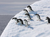 Adelie Penguins Balance on Iceberg  Antarctic Peninsula