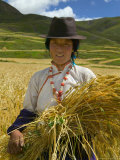 Tibetan Farmer Harvesting Barley  East Himalayas  Tibet  China