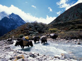 Yaks Crossing River to the Kangshung  Tibet