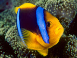 Anemonefish  Great Barrier Reef  Australia