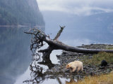Sow with Cub  Rainforest of British Columbia