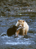 Sow with Cub Eating Fish  Rainforest of British Columbia