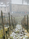 Vineyard in Winter  Riquewihr  Haut Rhin  Alsace  France