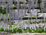Spring Blossoms  Capri  Campania  Italy