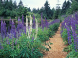 Lupines by a Pond  Kitty Coleman Woodland Gardens  Comox Valley  Vancouver Island  British Columbia