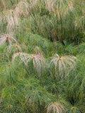 Fontana Aretusa  Papyrus Plant Detail  Ortygia Island  Syracuse  Sicily  Italy