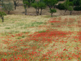 Field of Poppies  Cisternino  Puglia  Italy