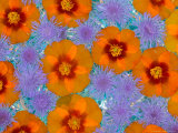 Floating Flowers in Glass Bowl  Blue Ageratum and Orange Blooms  Sammamish  Washington  USA