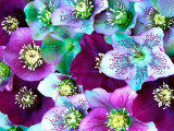 Heliborus Pattern of Winter Blooming Flower  Sammamish  Washington  USA