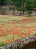 Stone Wall and Field of Poppies  Cisternino  Puglia  Italy