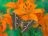 Orange Asiatic Lily and Silk Moth Samia Cynthia  Sammamish  Washington  USA