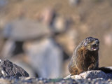Yellow Belly Marmot Whistling