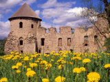 Dandelions Surround Cesis Castle  Latvia