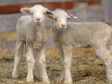 Pair of Commercial Targhee Lambs