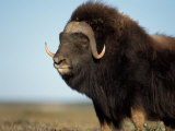 Musk Ox Bull on the North Slope of the Brooks Range  Alaska  USA
