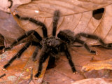 Black Tarantulas  Amazon Rainforest  Peru