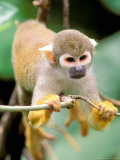 Squirrel Monkey  Rainforest  Manu National Park  Peru