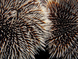 Sea Urchins  Galapagos Islands  Ecuador