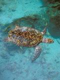 Green Turtle  Bocas Del Torro Island  Panama