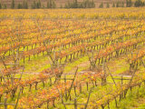 Vineyards in Fall Colors  Juanico Winery  Uruguay