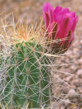 Strawberry Hedgehog Cactus  Desert Botanical Museum  Phoenix  Arizona  USA