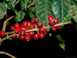 Red Coffee Beans on Plant  Coffee Plantation and Museum  Museo del Cafe  Antigua  Guatemala