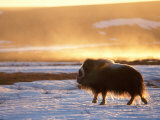 Muskox Bull Silhouetted at Sunset  North Slope of the Brooks Range  Alaska  USA