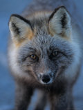 Red Fox on North Slope of Brooks Range  Alaska  USA
