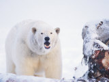 Polar Bear Scavenging on a Bowhead Whale  Arctic National Wildlife Refuge  Alaska  USA