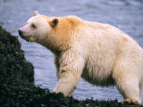 Polar Bears  North Slope  Alaska  USA