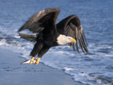 Bald Eagle in Flight with Fish in Kachemak Bay  Alaska  USA