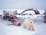 Polar Bear Sow with Spring Cubs Scavenging on a Bowhead Whale  Alaska  USA