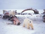 Polar Bear Sow with Spring Cubs Scavenging on a Bowhead Whale  Alaska  USA
